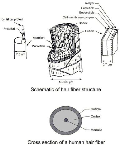 hair structure schematic introduction