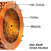 Cross section of the hair shaft shows the three layers.