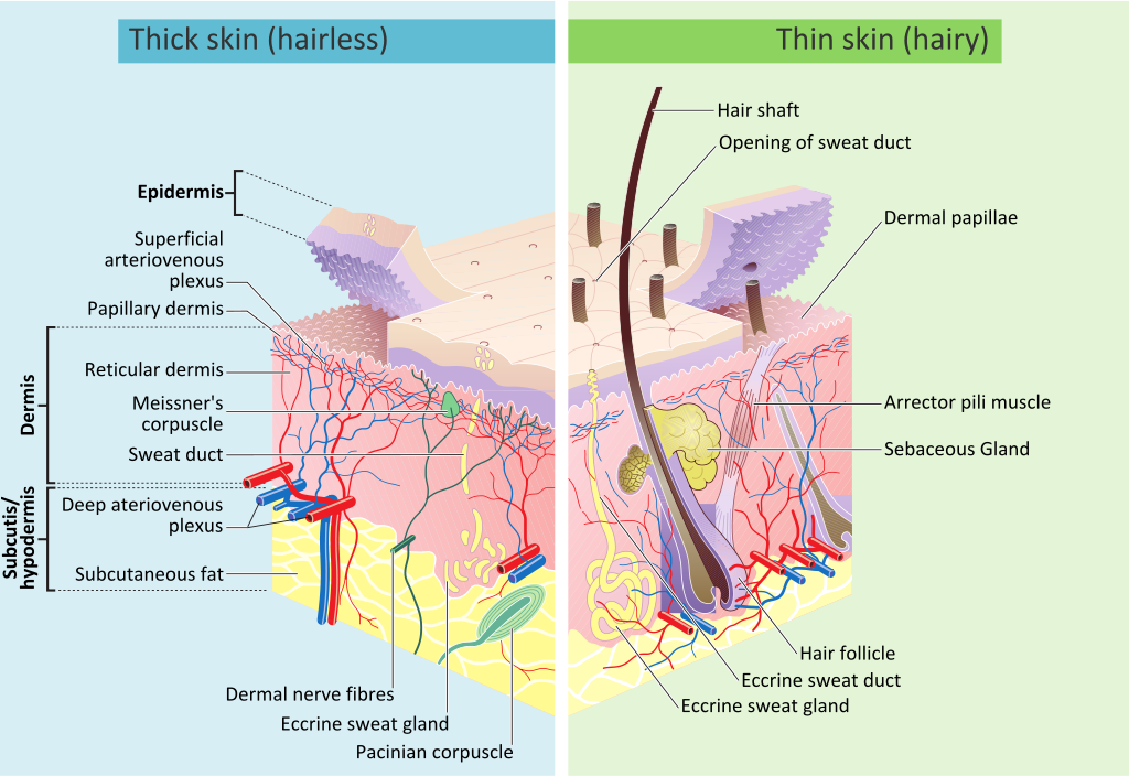 Skin_layers. wikimedia commons svg