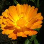 Calendula Flower – Edible Office, Flickr 4671249486_3a8a824d9b_o